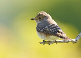 A lazy day - Spotted Flycatcher by Jamie-MacArthur
