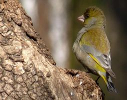 Greenfinch by miirex