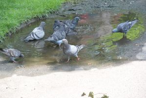 Bird Bath In the Puddle, the Gathering 3 by Miss-Tbones