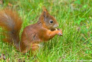 eating squirrel I by Philophobos
