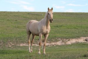 Palomino Stallion 14 by How-You-Remind-Me