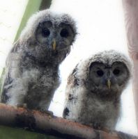 Baby Ural Owls by twistedtoy