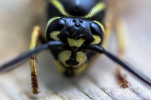 Wasp Head by aydonis