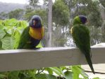 Rainbow Lorikeets by mintymintymid