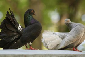 Grandfather's Pigeons by Draggor-Lecanth