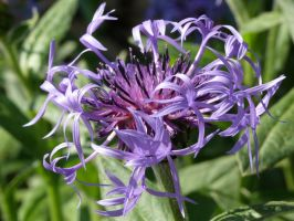 Knapweed by lost-in-maze