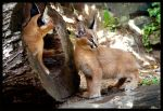 caracal cubs by morho
