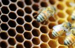 honeybees on comb by j-m-s