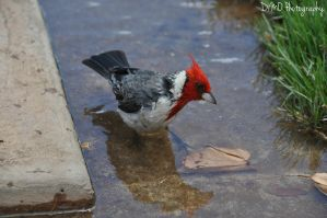 Red Crested Cardinal III by AllAboutDianne