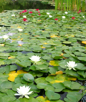 water lilly 3 by Azenor-stock