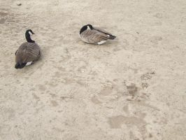 Geese IX by Tiaropsis