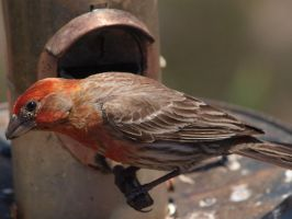 Male House Finch by photographyflower