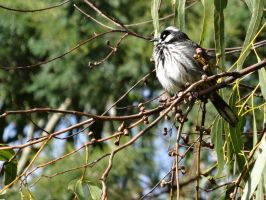 New Holland Honeyeater by me-and-mojo