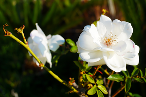 White Rose by Vilyane
