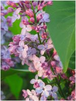 Lilacs and Light by seldom-sleeping