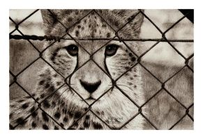 The Beauty of Cheetah by antiholly