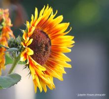 Tournesol by MorganeS-Photographe