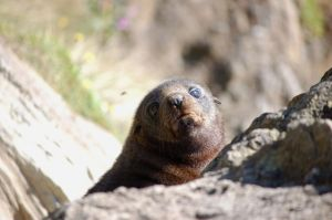 Fur Seal Pup by WonderDookie
