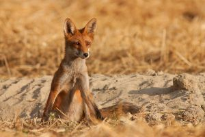 Fox II by JMrocek