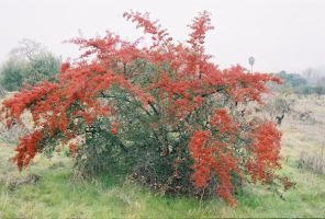 Red Berry Bush by spicorder-stock