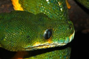 Green Tree Python by S-H-Photography