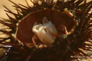 sea urchin by wera100243