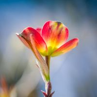 Obvious Dogwood I by pagit