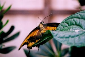 Butterfly I by John-Furie-Zacharias