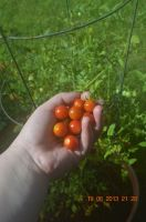 summer tomatoes by mandys-dream-steam