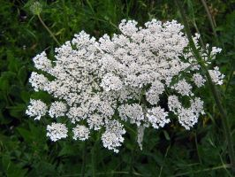 Queen Anne's Lace by Neriah-stock