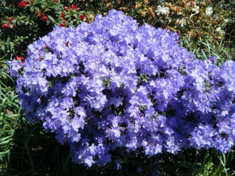 Purple Rhodedendrons by Bookworm48