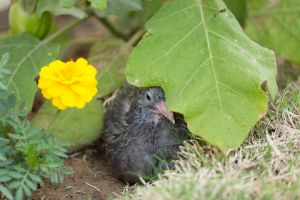 Baby Pigeon #3 by jeans05