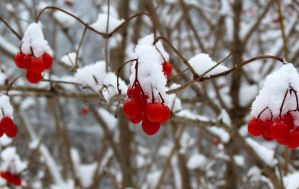 Snow Berries by camara13
