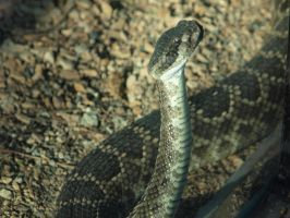 Rattlesnake by photographyflower