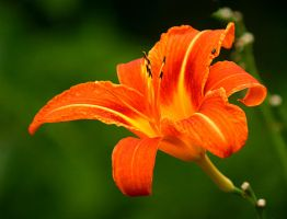 orange lily by SvitakovaEva