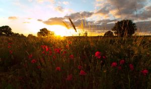 Yorkshire Poppy Field Sunset by davepphotographer