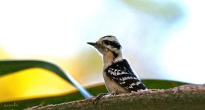 Downy Woodpecker by FallOut99