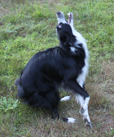Border Collie rabid STOCK 15 by Miahii