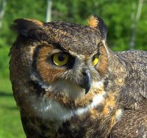 GREAT HORNED OWL by lenslady