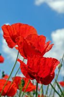 14-06 Poppies #3 by evionn