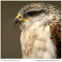 Ferringous Buzzard by In-the-picture