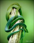 Green Snakes by DigitalEurynome