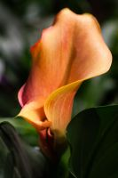 Calla Lily V by xXCold-FireXx