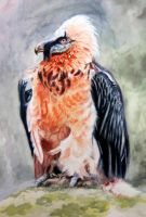 Bearded Vulture watercolor by HeribertoMartinez