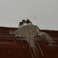 Baby Swallows by Roky320
