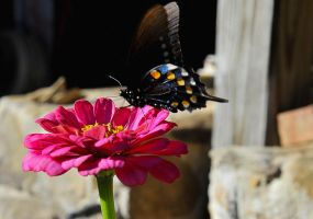 Butterfly on Zinnia by lawout16