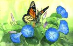 Convolvulus by barbaramj