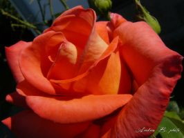 roses~1 by andi40