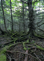 Mossy Roots by Koeskull