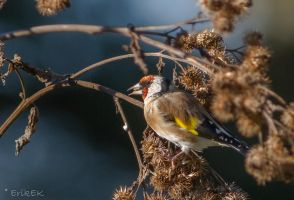 European goldfinch 4 by ErikEK